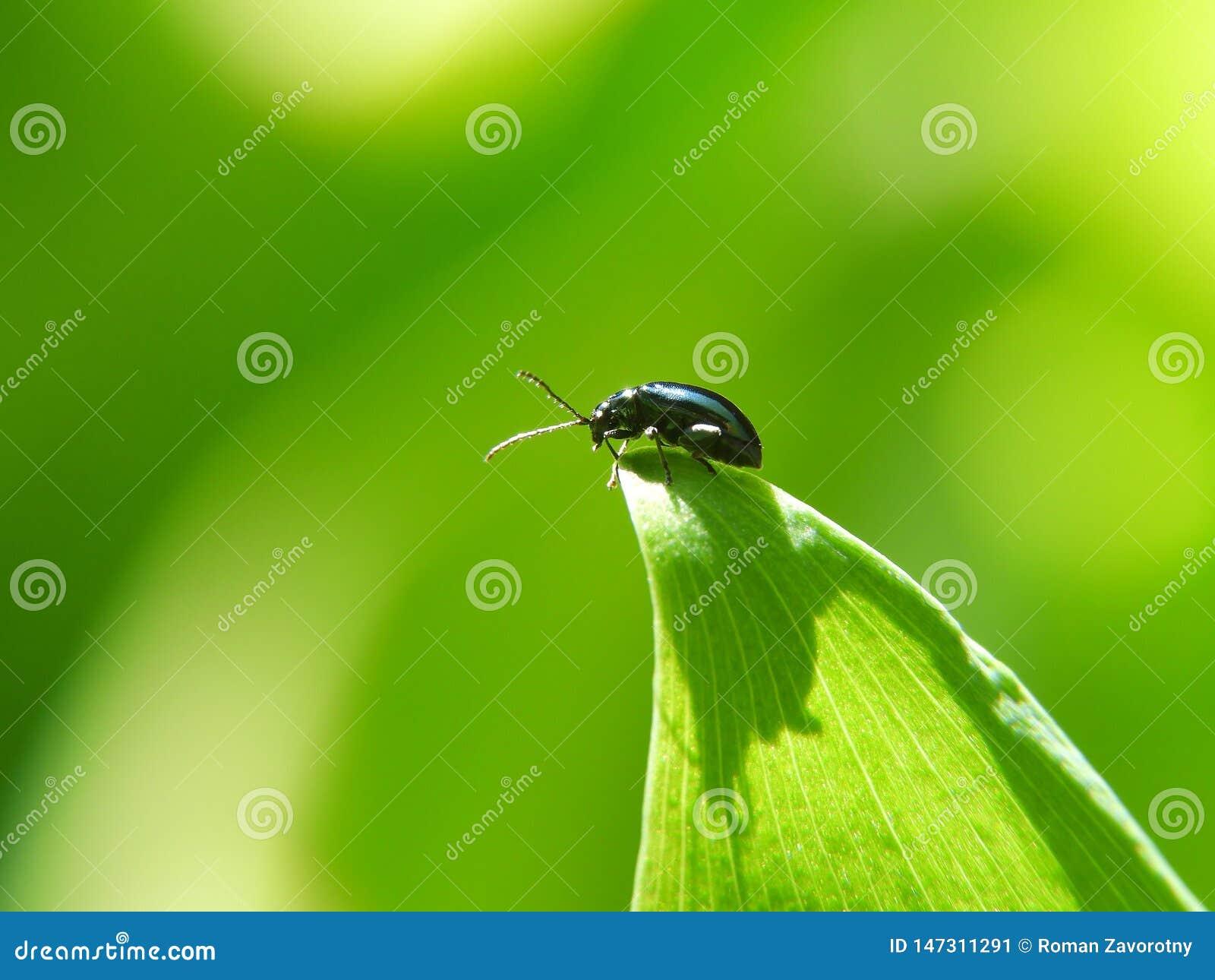 Escarabajo de mayo en un lirio de los valles verde