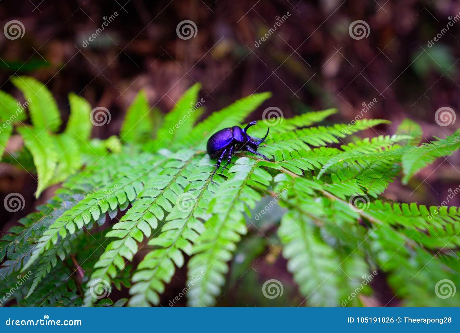 Escarabajo De Rinoceronte - Los Artrópodos En Helecho Hojean En ...