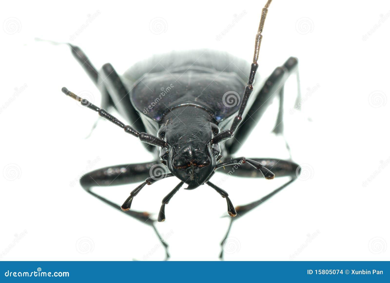 Escarabajo De Tierra Del Insecto Foto de archivo - Imagen de chino ...