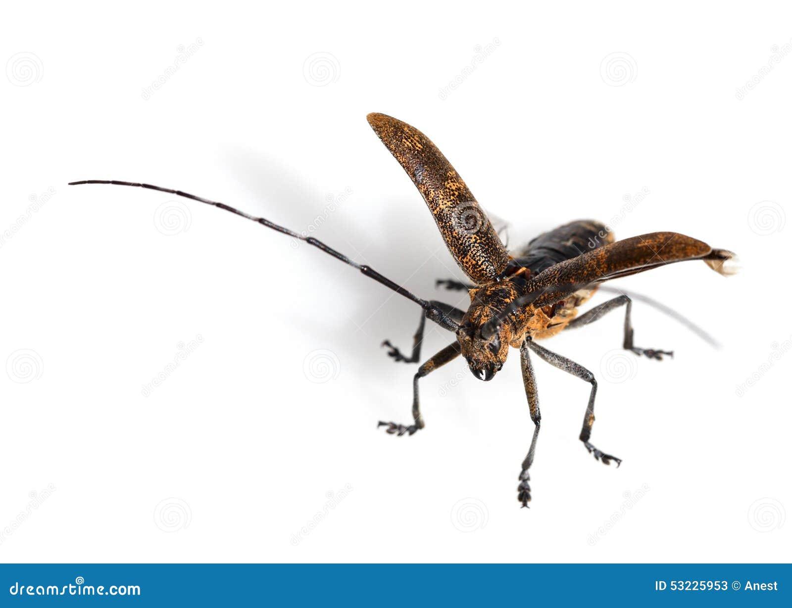 Escarabajo listo para volar