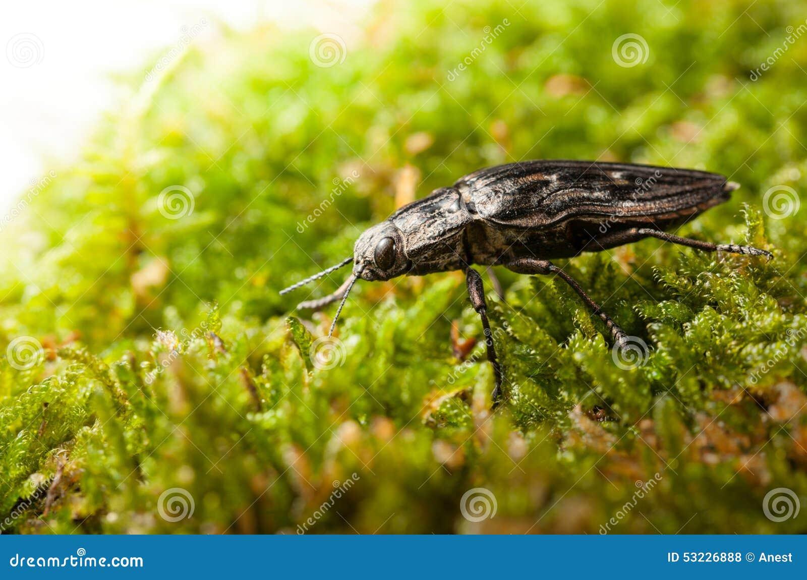 Escarabajo que sube a través de musgo verde