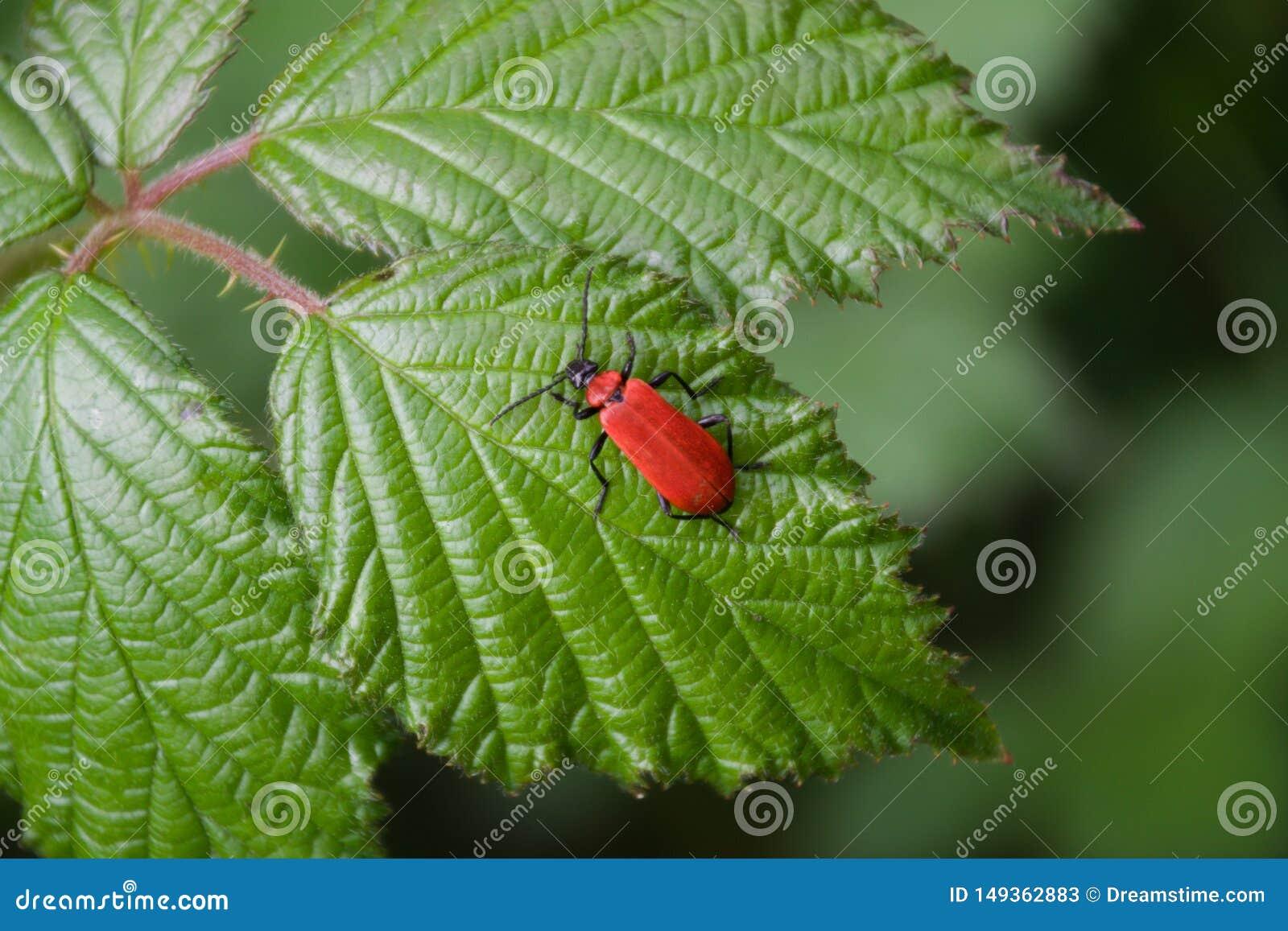 Escarabajo rojo del lirio