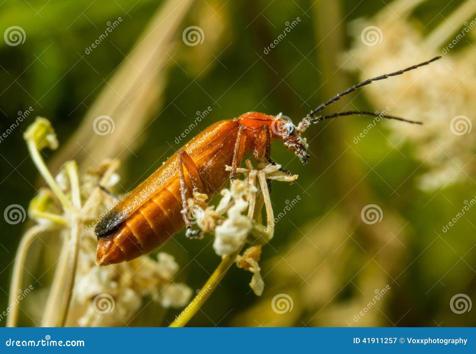 Escarabajo rojo del soldado