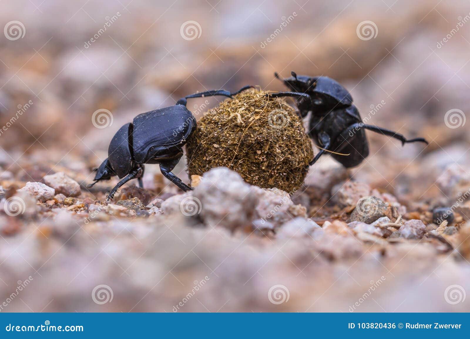 Escarabajos de estiércol fuertes moiling que hacen frente a desafíos