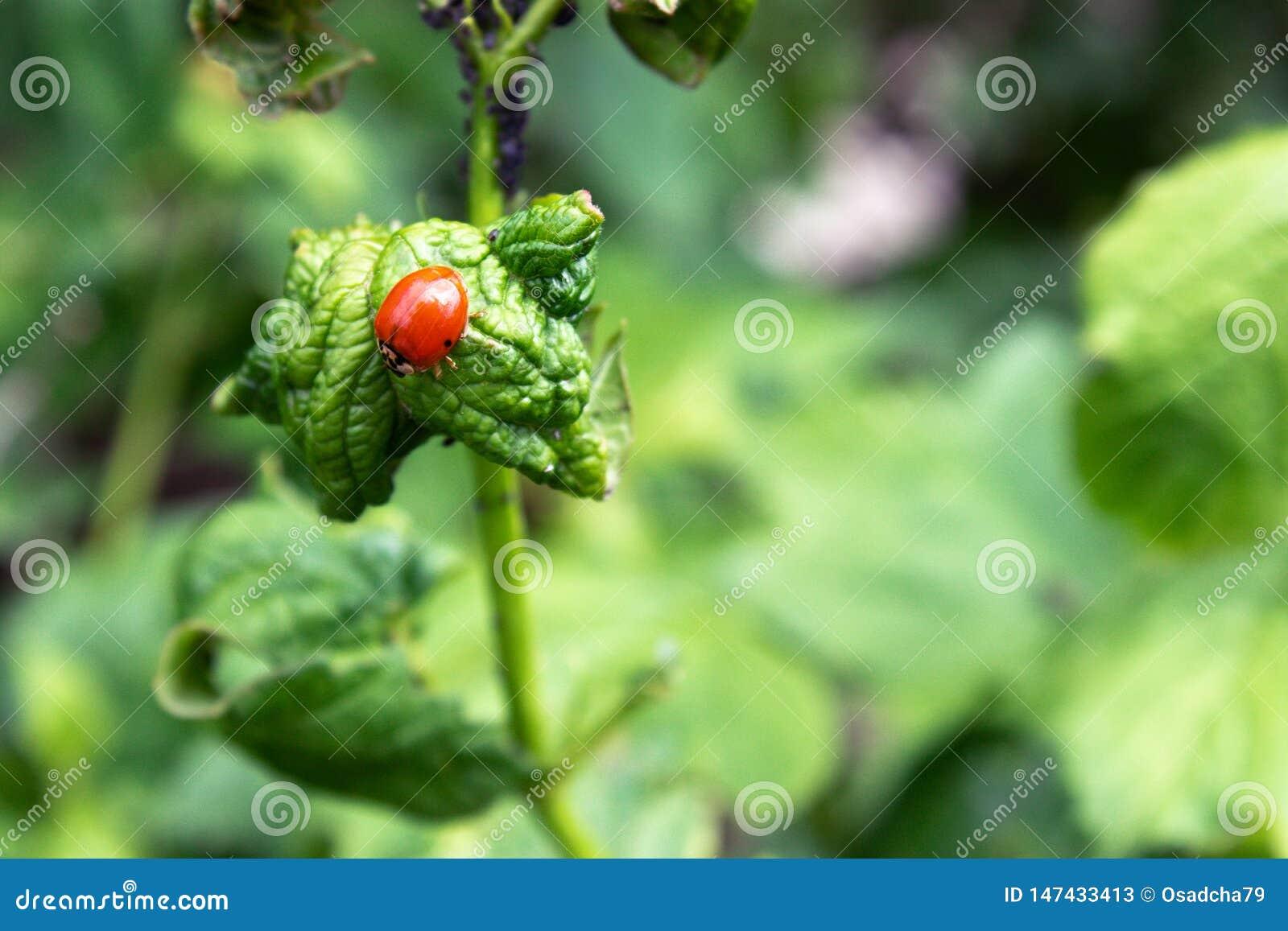Escarabajos, par?sitos en ramas verdes Una rama del viburnum con las hojas y escarabajos que comen las hojas