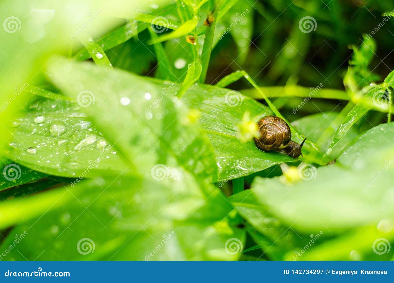 Escargot avec la coquille brune sur une feuille verte après pluie d été