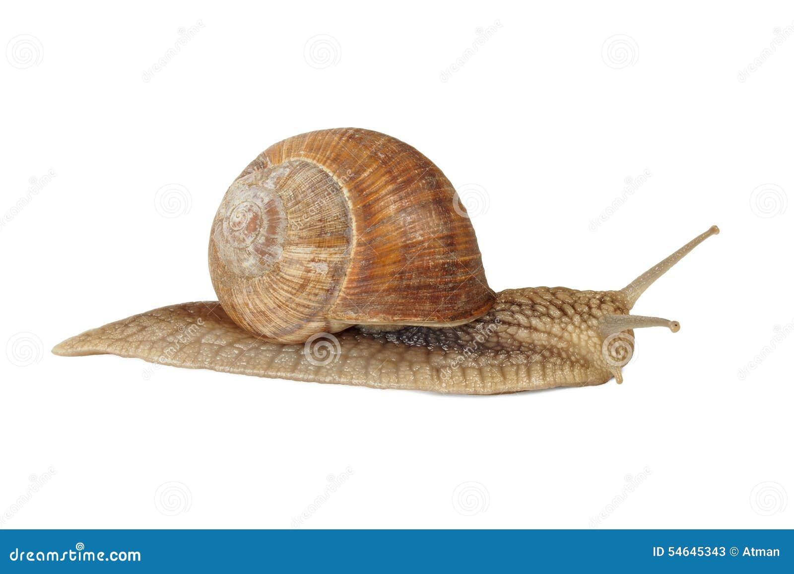 Escargot comestible