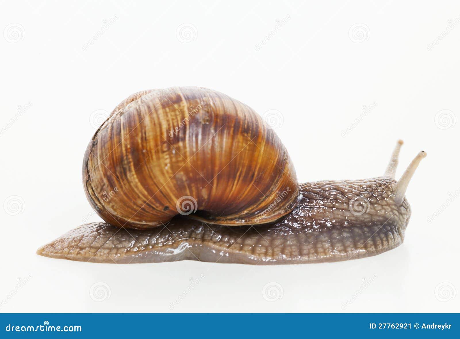 Escargot déménageant sur le fond blanc