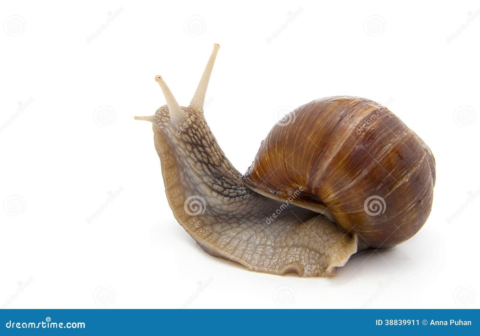 Escargot de jardin