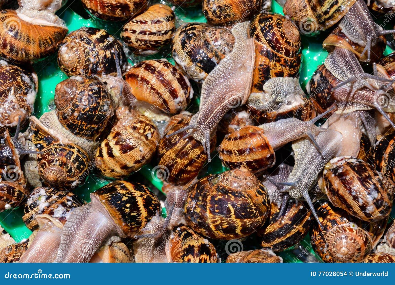 Escargot do caracol comestível