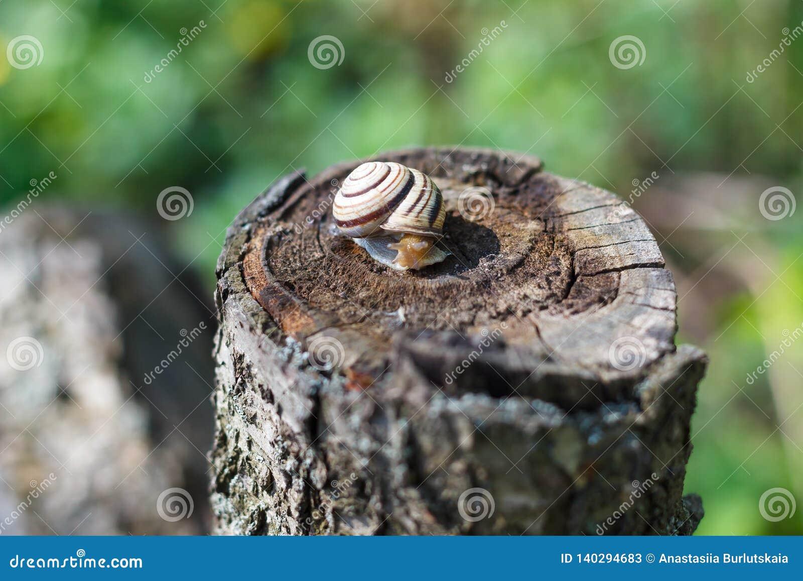 Escargot rampant sur un arbre ou une écorce