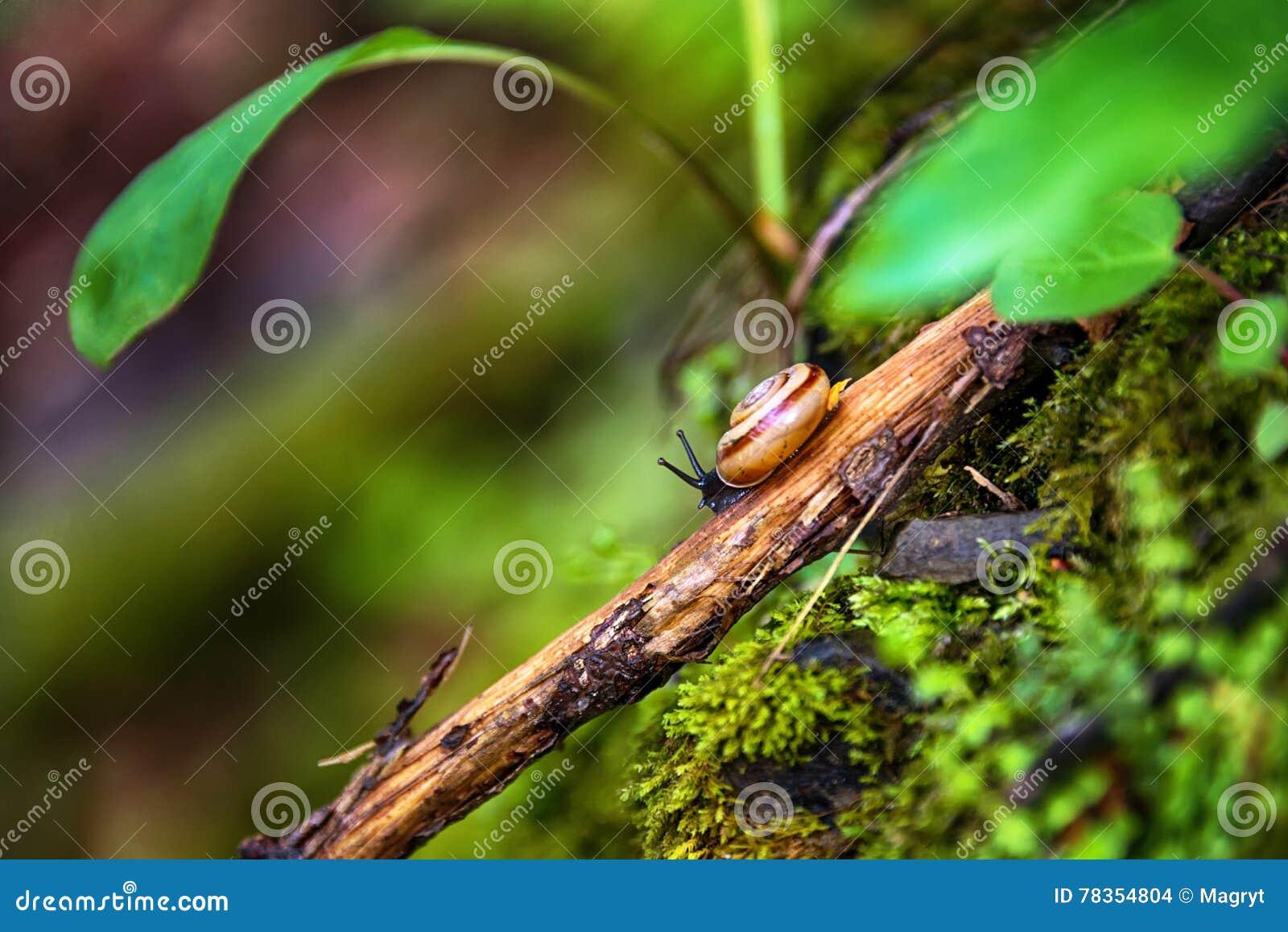 Escargot rampant sur une branche d arbre