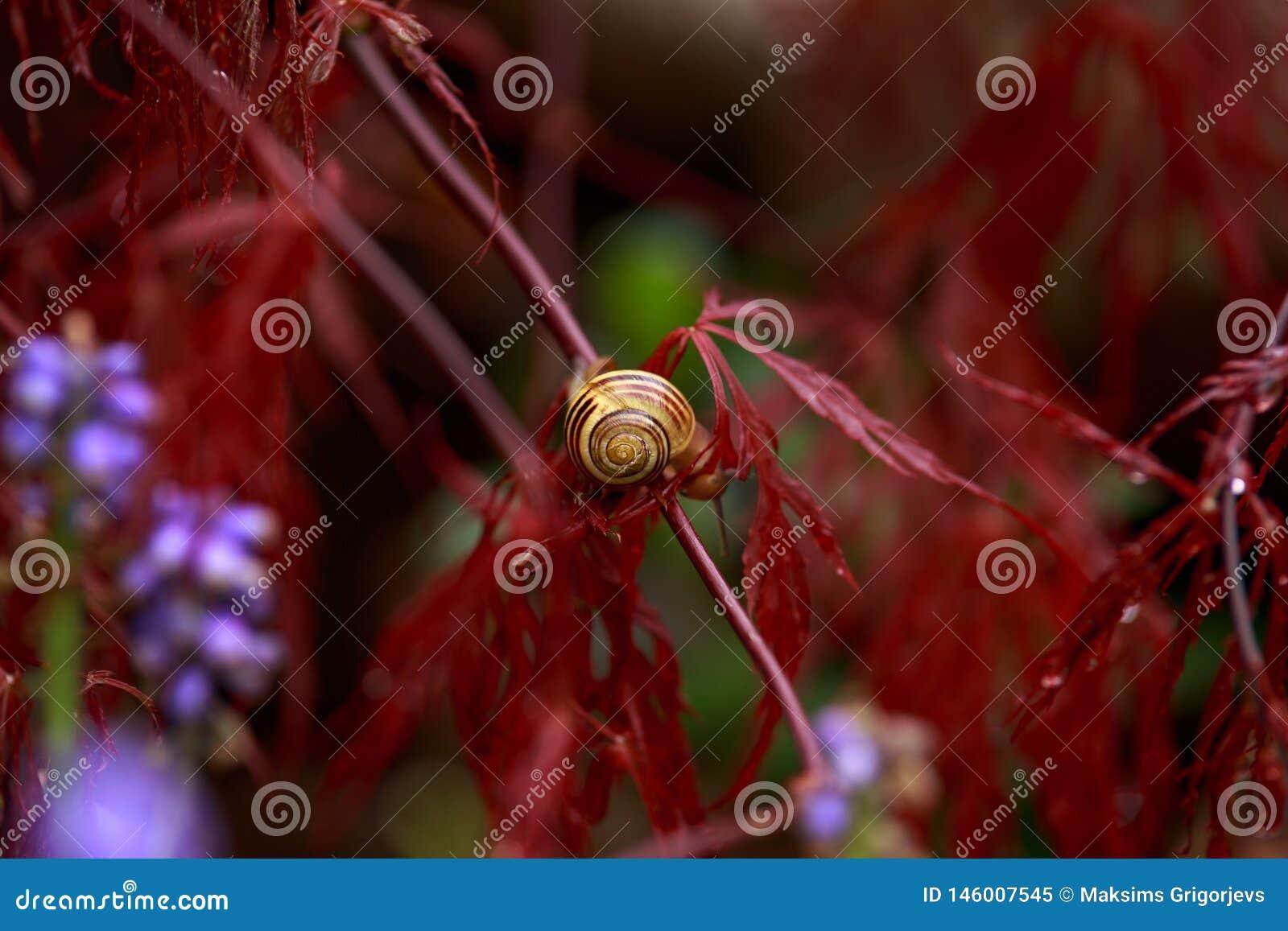 Escargot se reposant sur le feuillage rouge du palmatum pleurant d Acer d arbre d érable japonais de Laceleaf dans le jardin