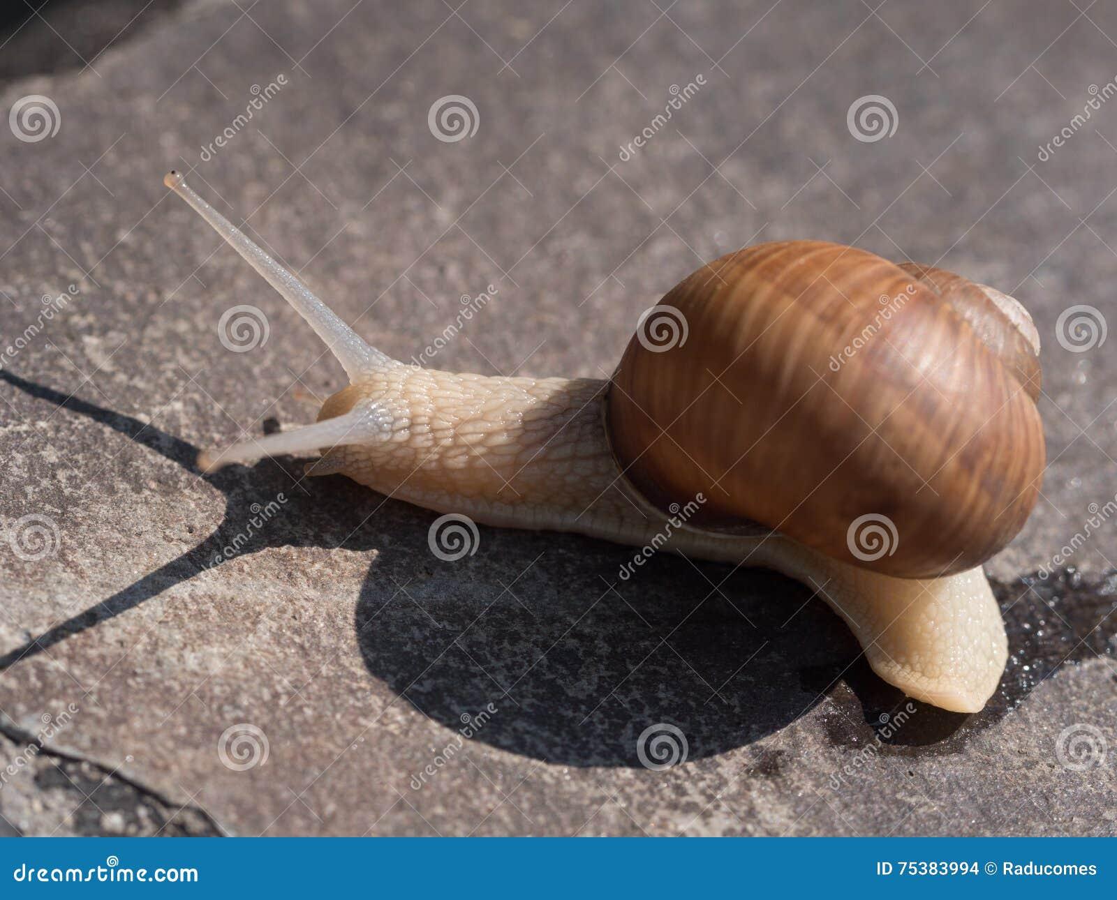 Escargot sur une roche