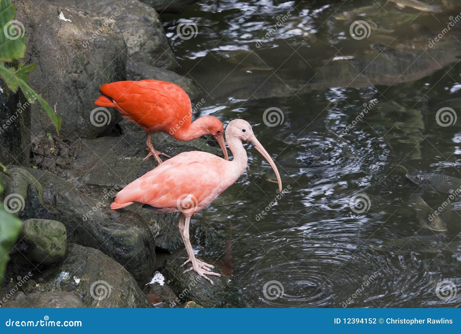 Escarlate de Ibis pelo waterside