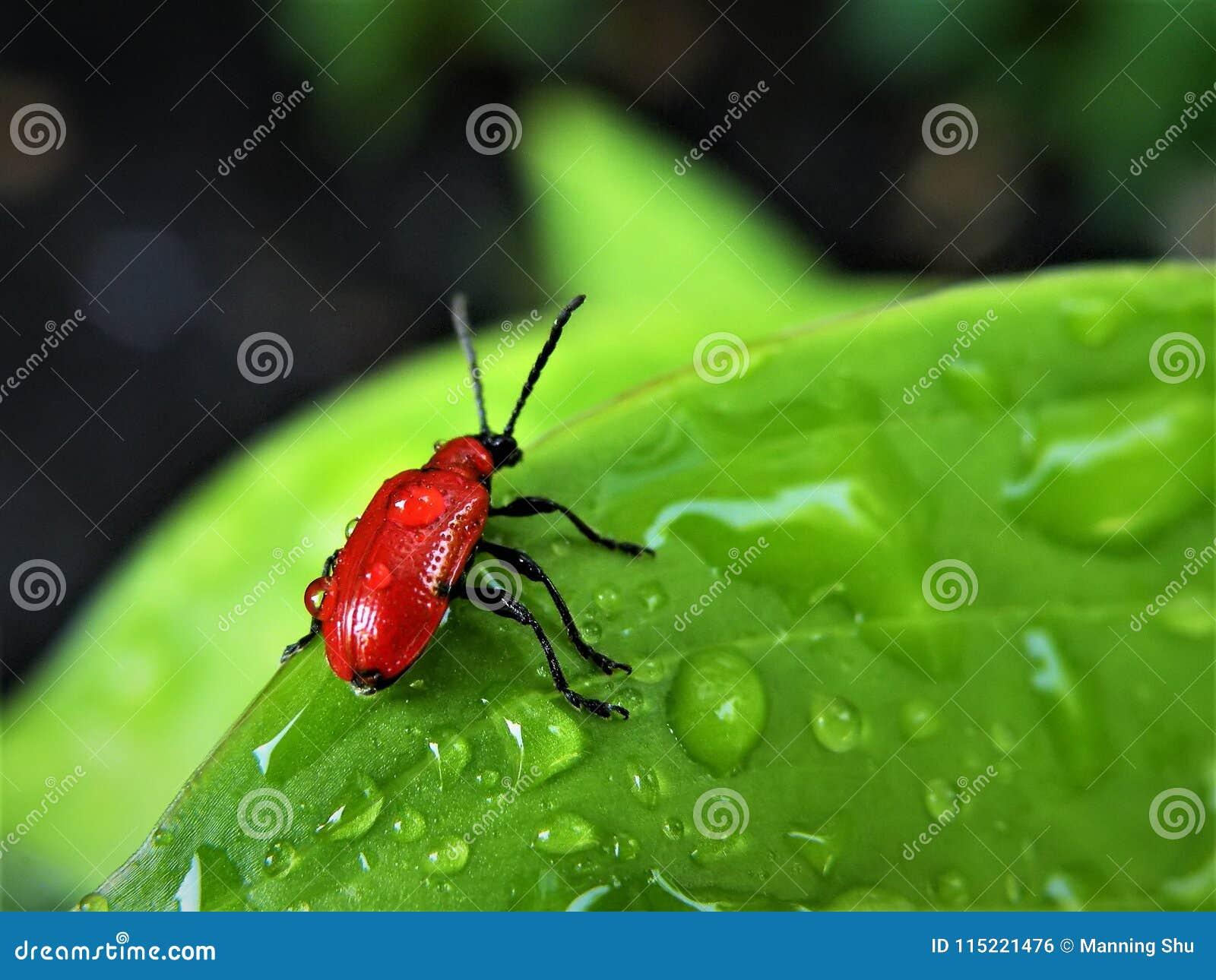 Escarlate de Lily Leaf Beetle