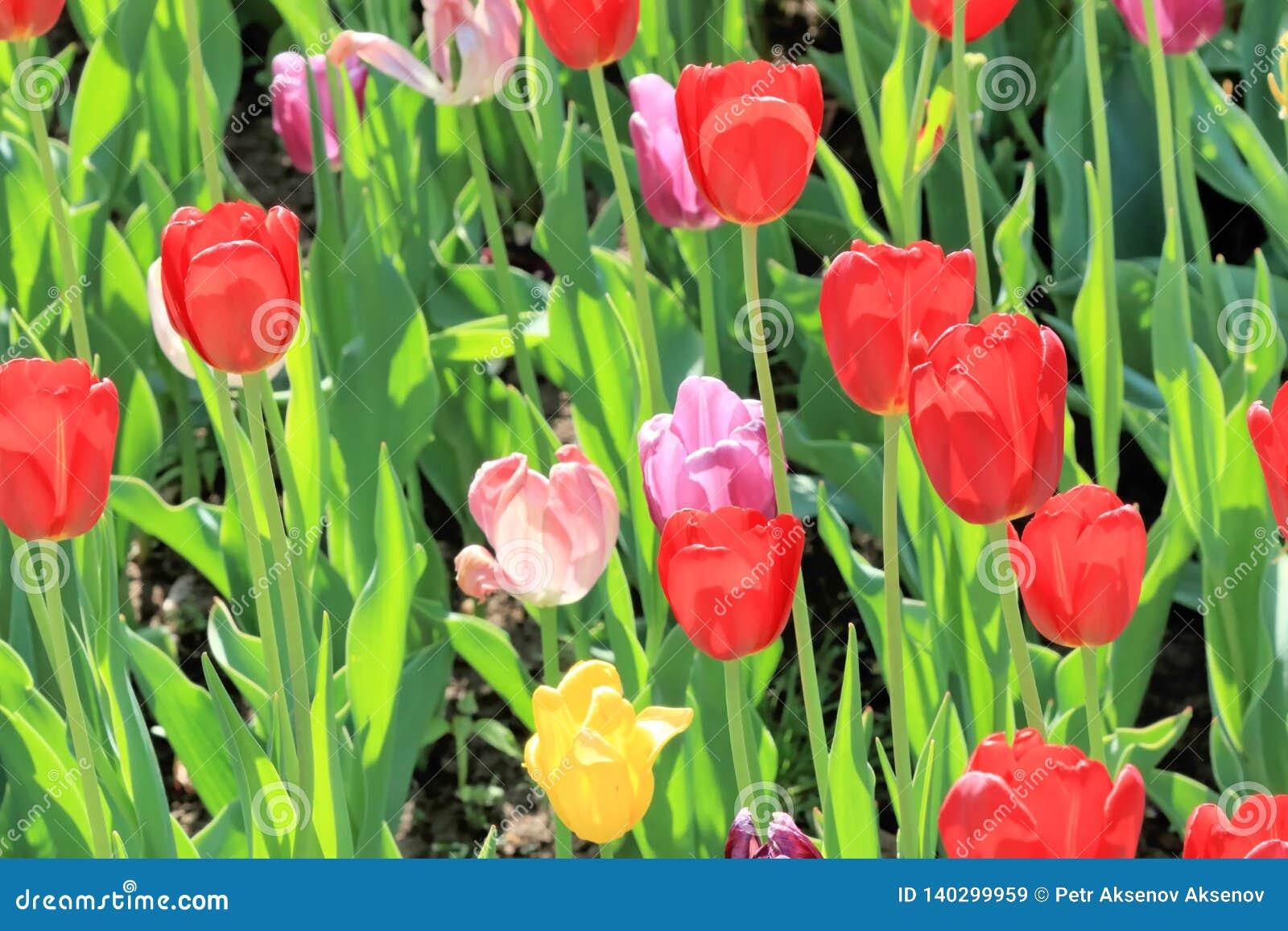 Escarlate, rosa e tulipas amarelas em uma mola bonita em um gramado do divertimento