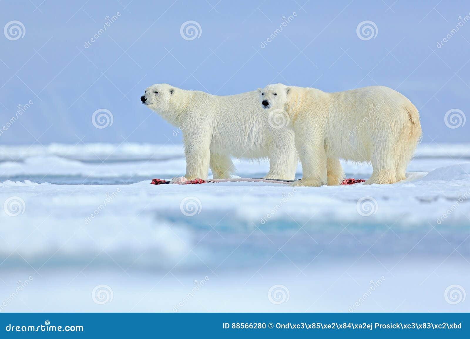 Escena de la fauna de la naturaleza ártica con el oso polar grande dos Pares de los osos polares que rasgan el esqueleto sangrien
