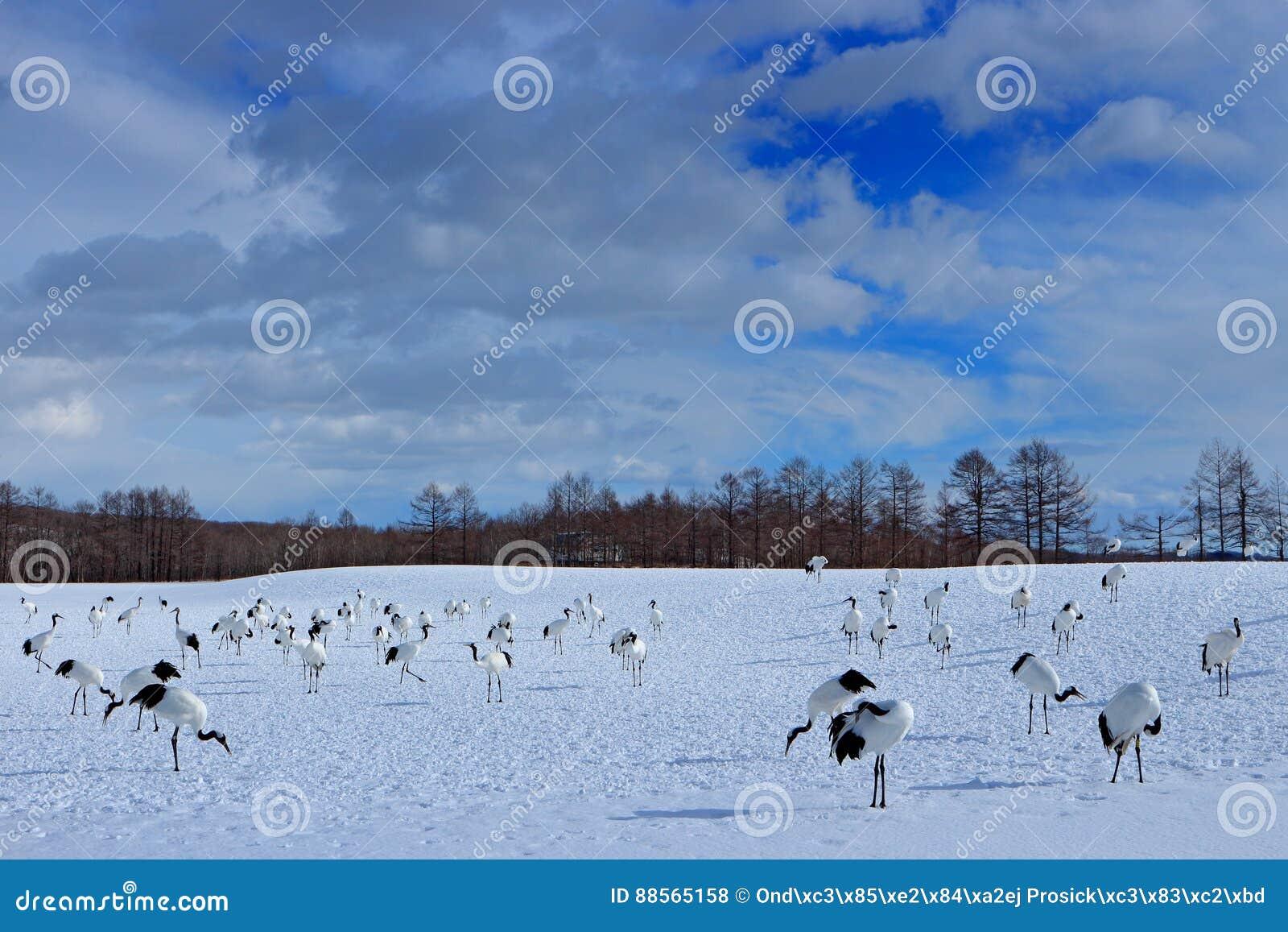 Escena de la fauna de la naturaleza nevosa Pares del baile de grúa Rojo-coronada con el ala abierta en vuelo, con día soleado, Ho