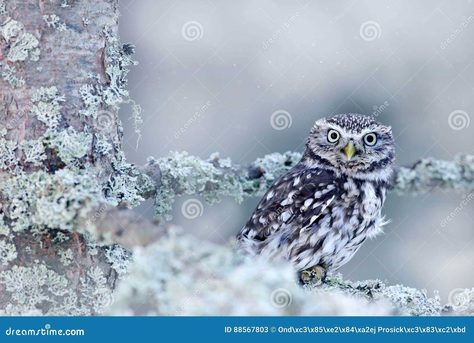 Escena del invierno con el pequeño búho, noctua del Athene, en el bosque blanco del alerce en Europa Central Retrato del pequeño