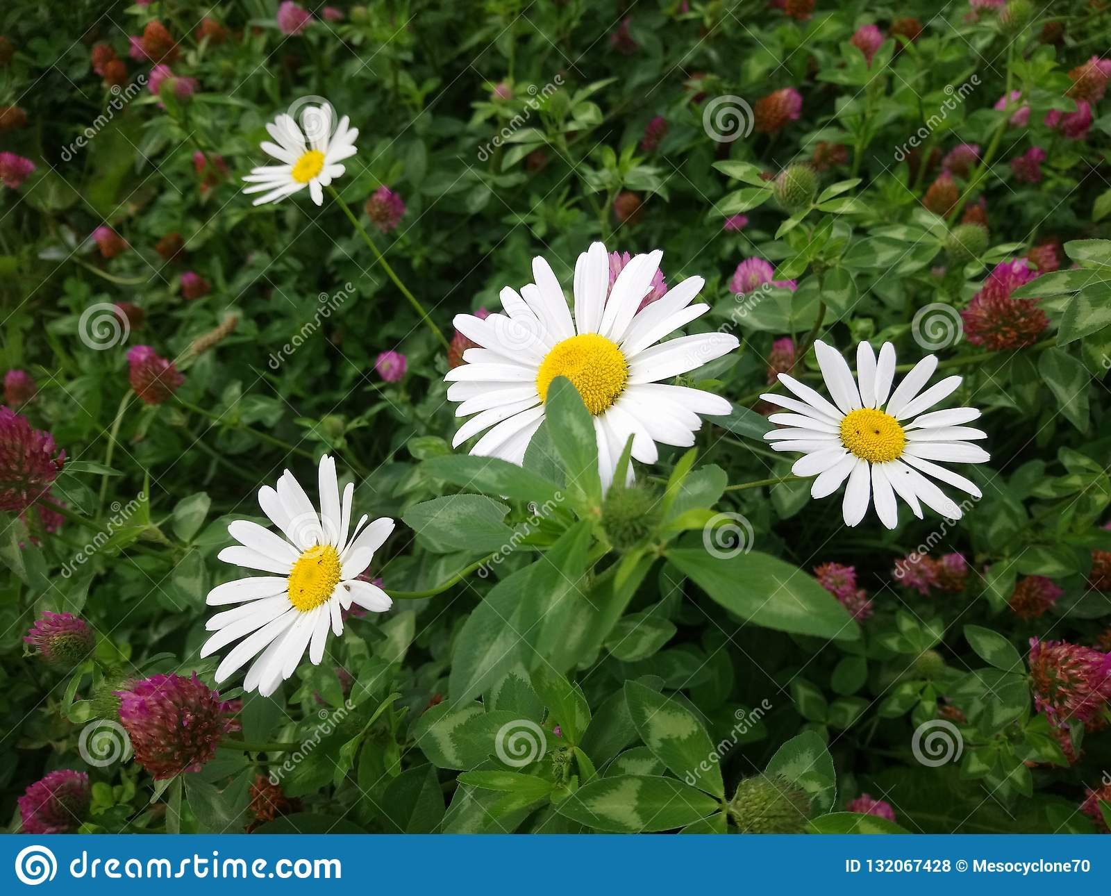 Escena hermosa de la naturaleza con las flores florecientes de la manzanilla en el parque