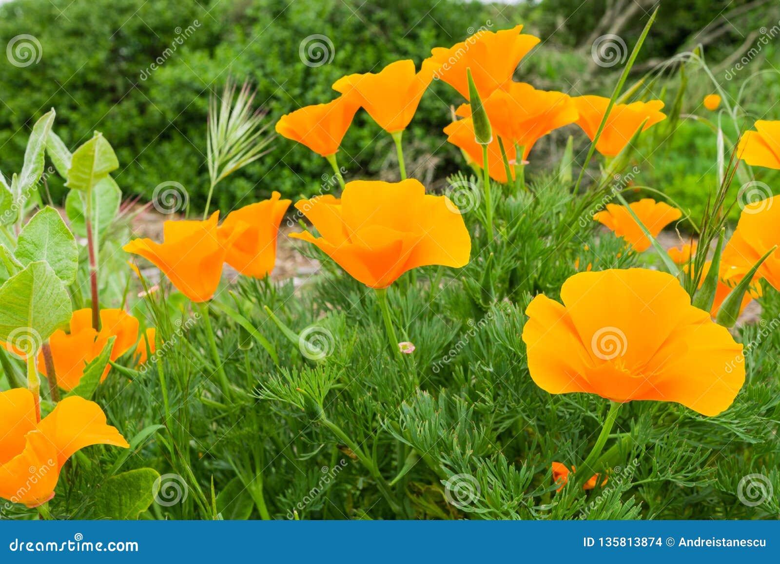Eschscholzia för Kalifornien vallmo som californica växer på en äng, San Jose, södra San Francisco Bay, Kalifornien