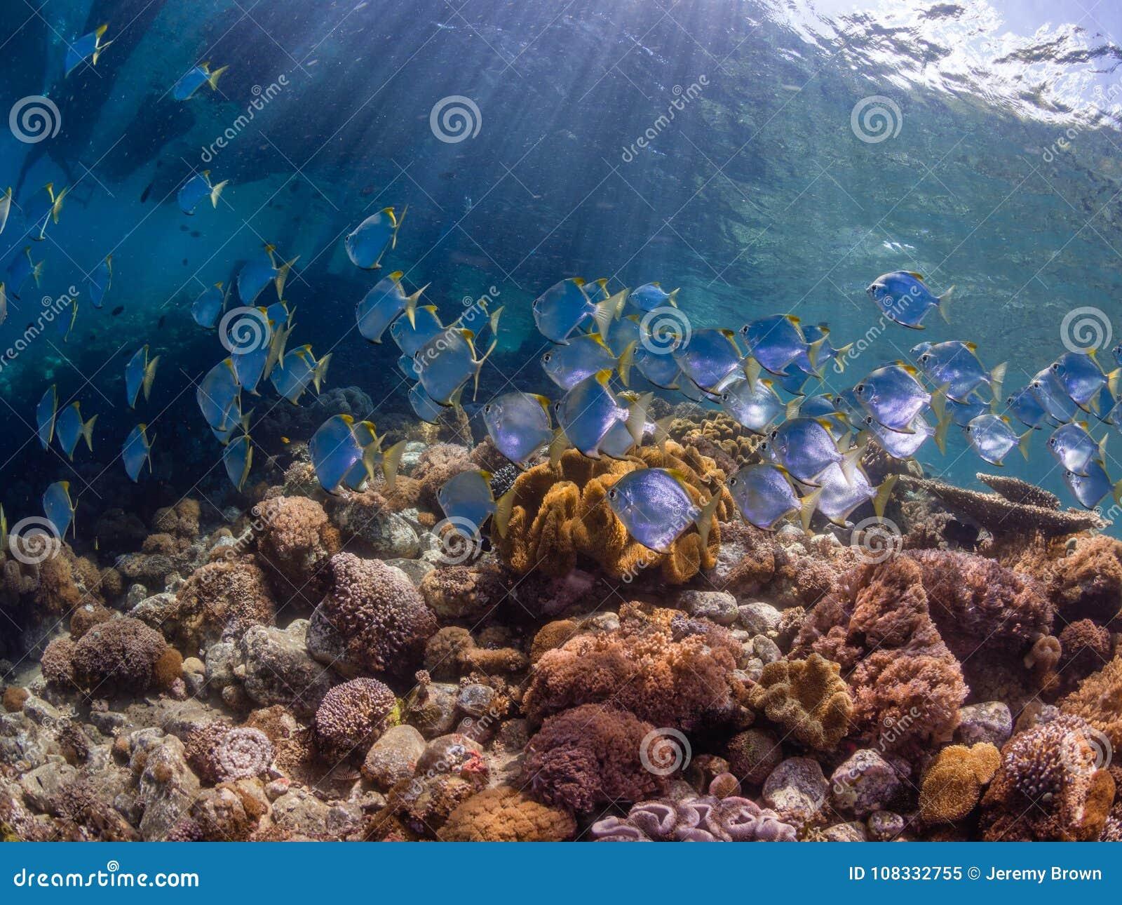 Escola dos diamondfish em um recife de corais tropical pristine