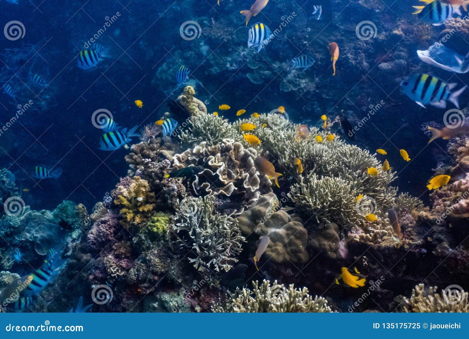 Escola dos peixes corais em um recife de corais raso