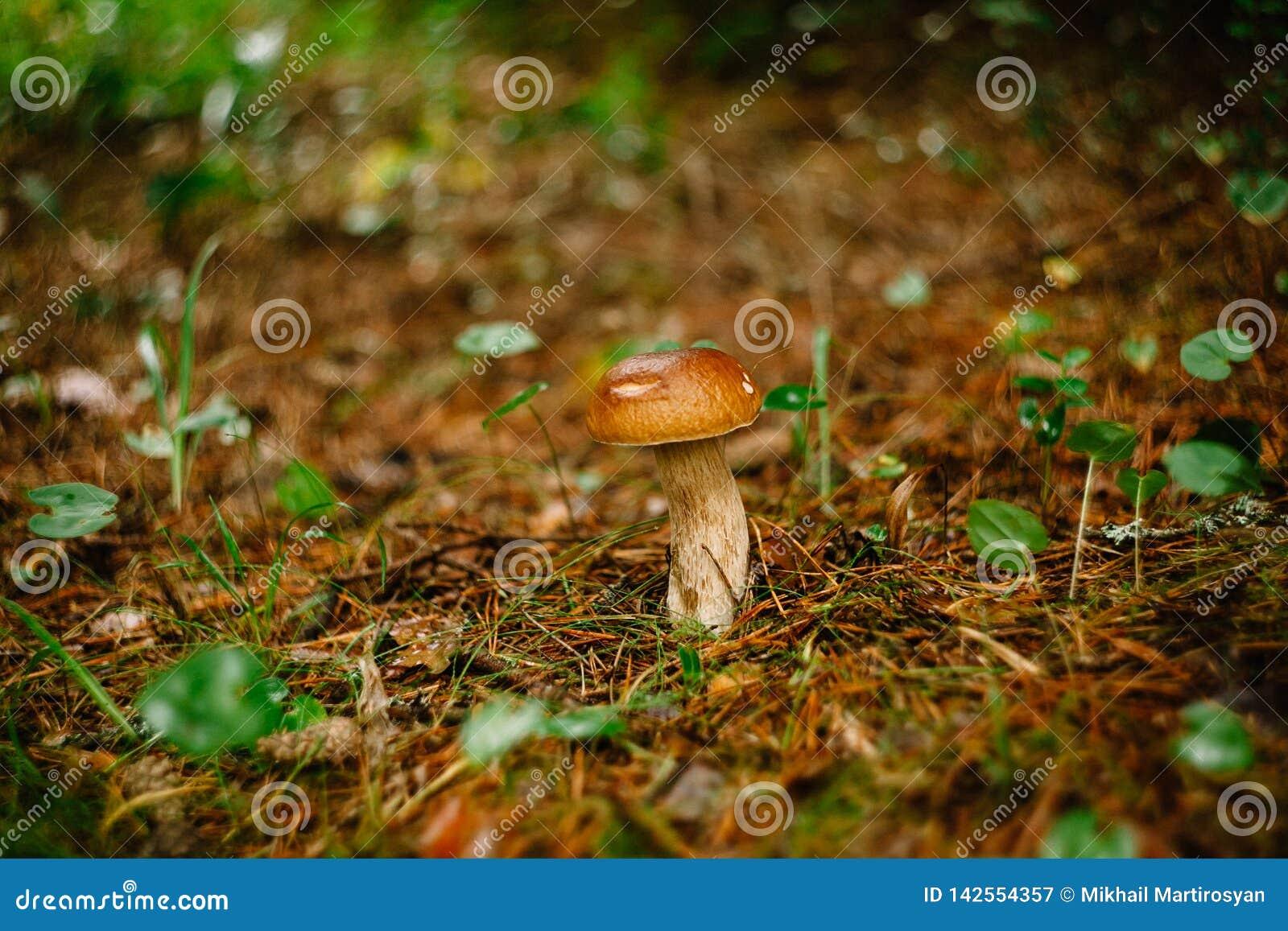 Escolhendo cogumelos e arandos na floresta no verão ou no outono adiantado Dias de verão Os cogumelos e as bagas estão crescendo