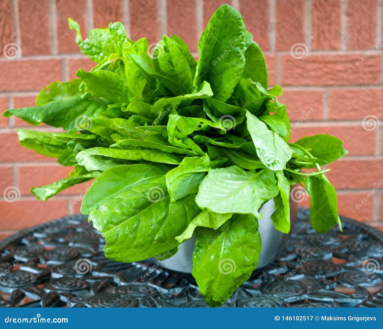 Escolheu recentemente as folhas verdes da azeda com gotas da água em uma bacia do metal