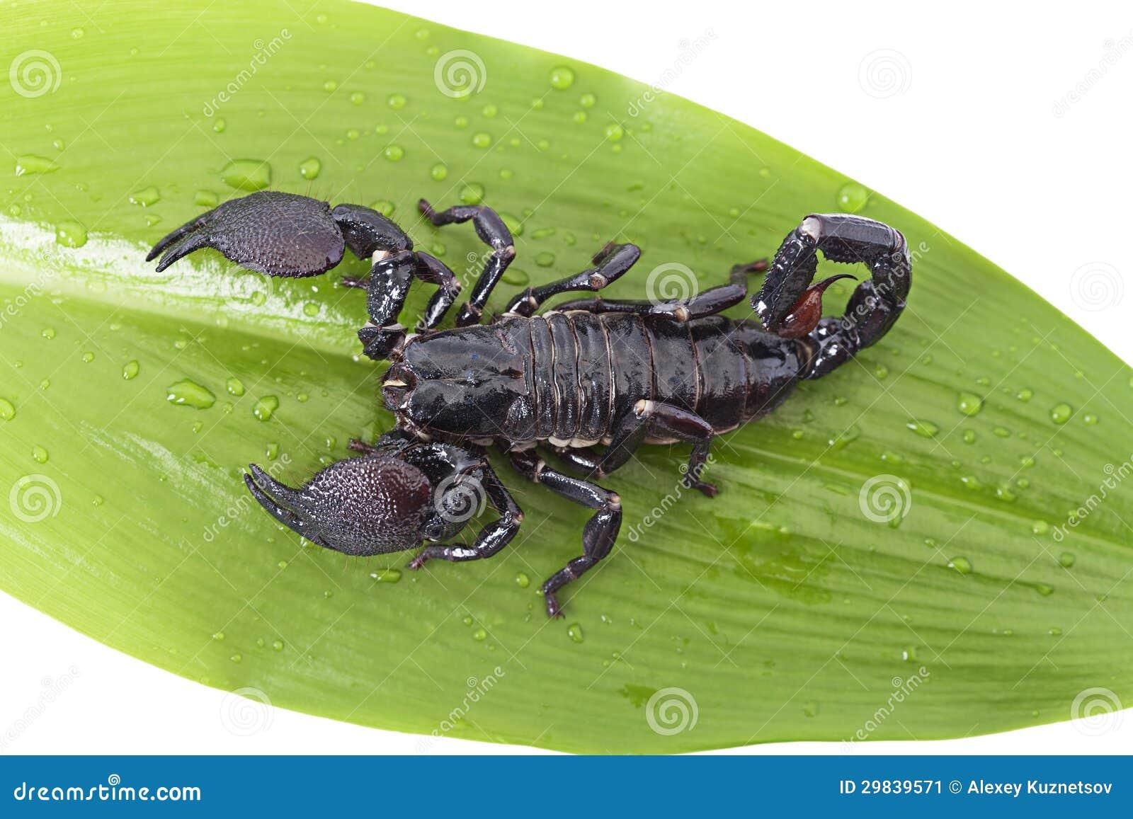 Escorpião em uma folha verde