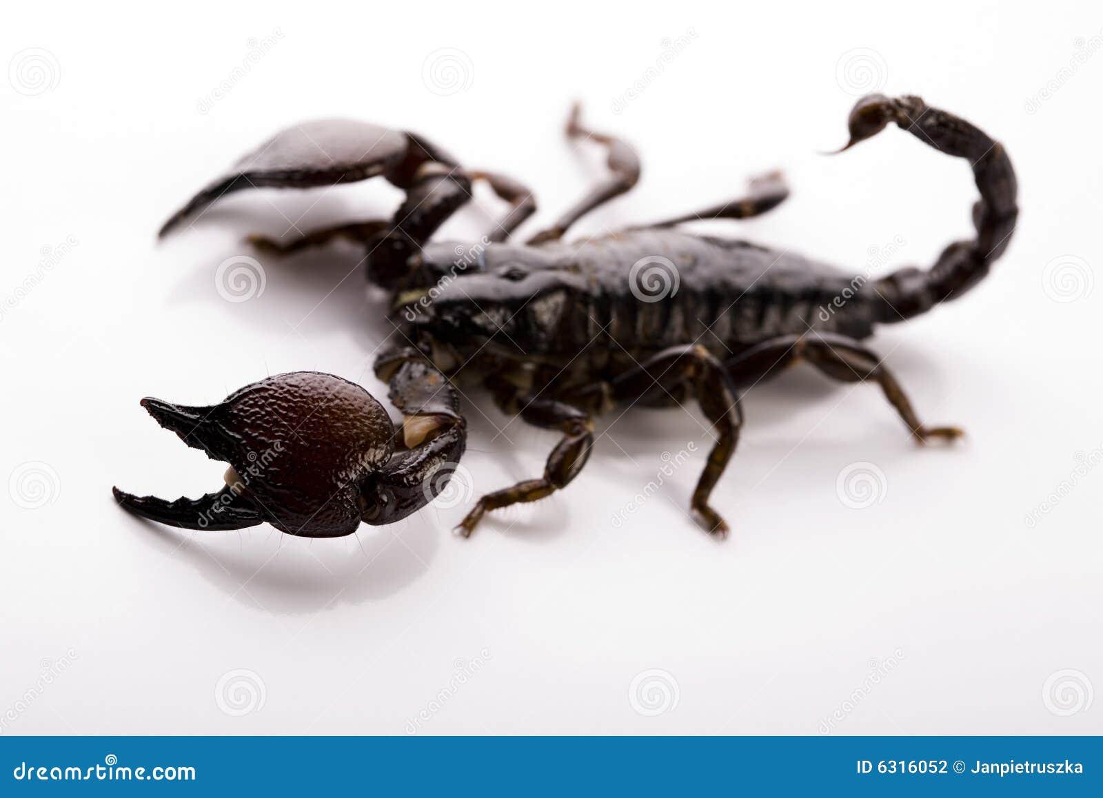 Escorpião no fundo branco