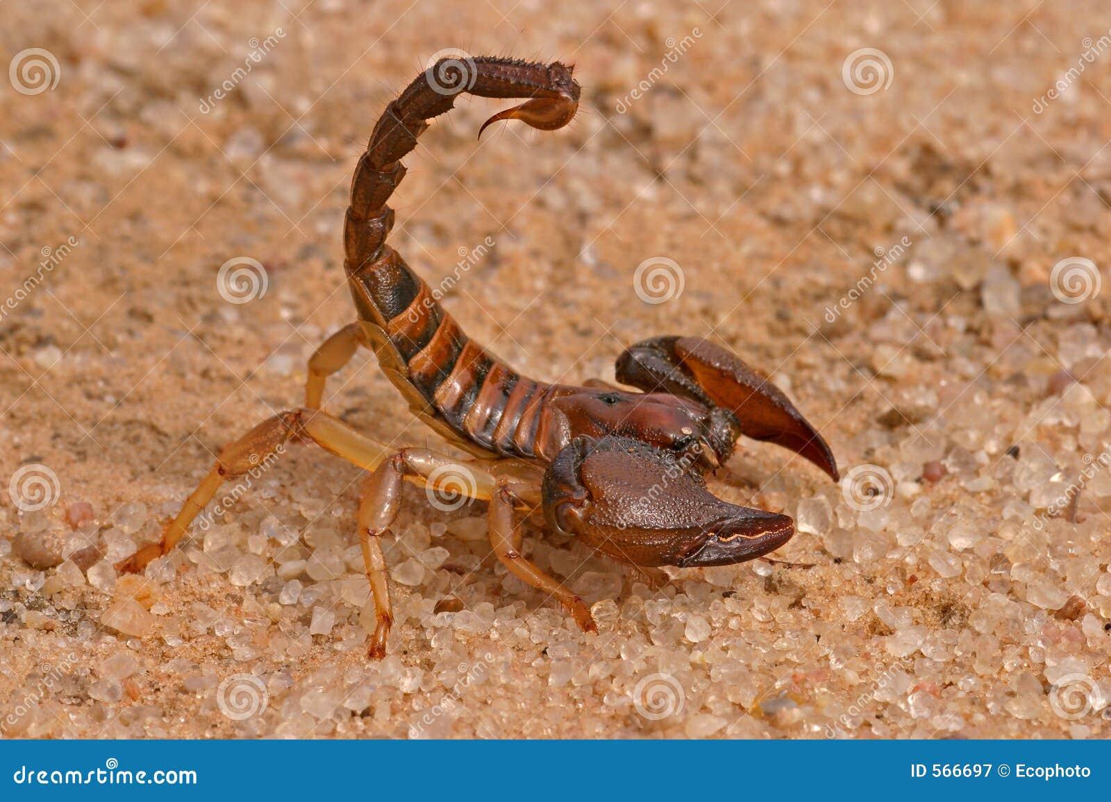 Escorpión agresivo
