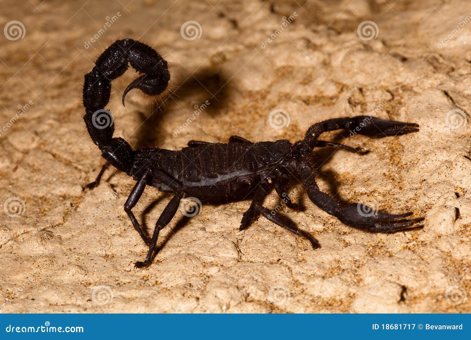Escorpión con la cola levantada