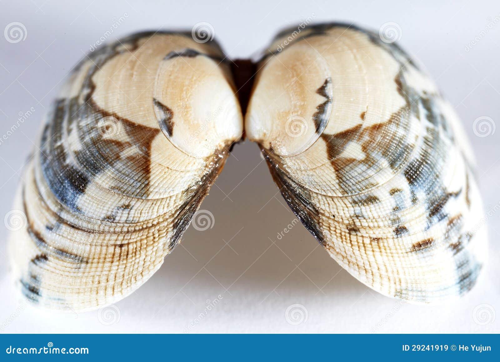 Download Escudo do mar imagem de stock. Imagem de fossil, mollusk - 29241919
