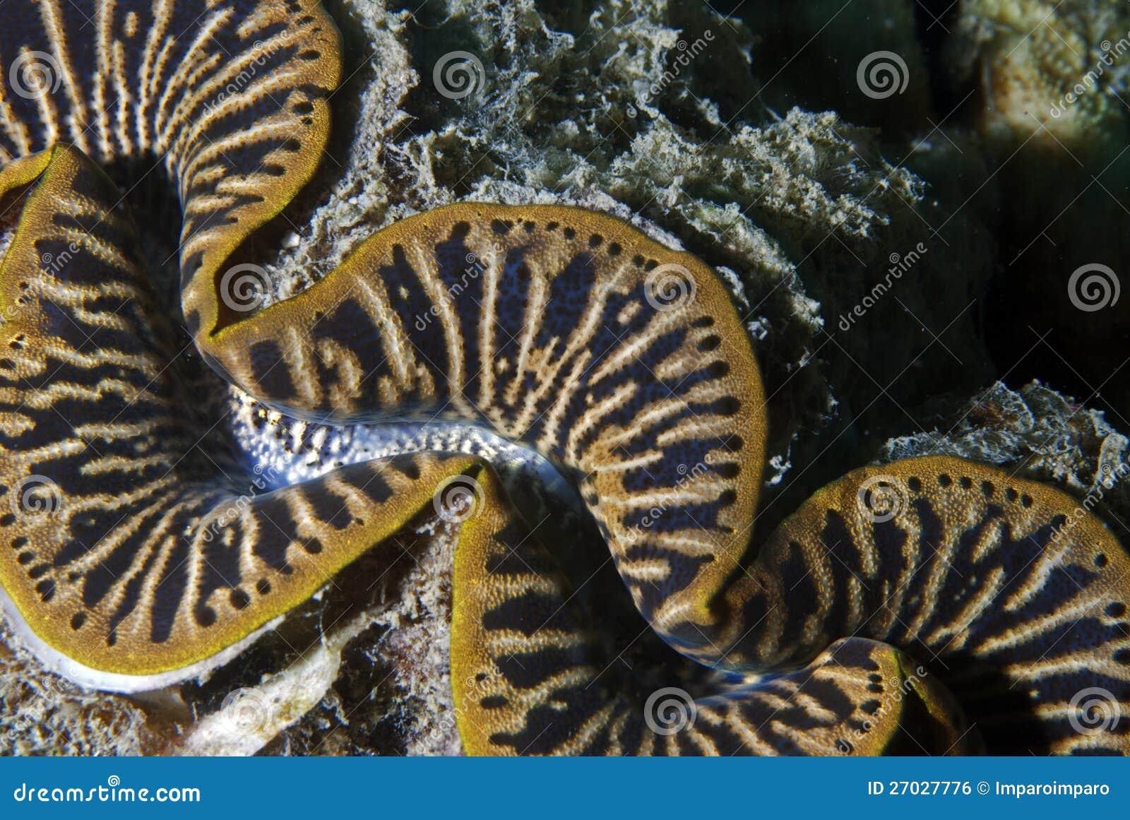 Escudo dos moluscos gigantes