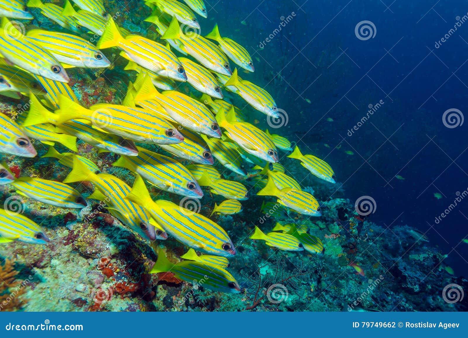 Escuela de los pescados amarillos, Maldivas