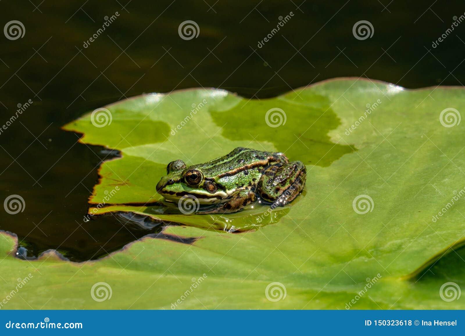 Esculenta- κοινός βάτραχος νερού Rana που κάνει ηλιοθεραπεία σε μια λίμνη