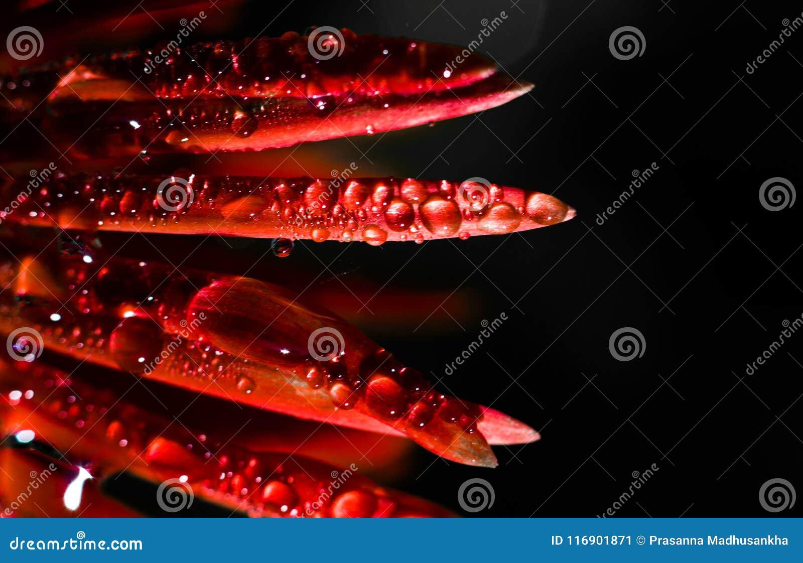 Escuro - flor vermelha com gotas da água