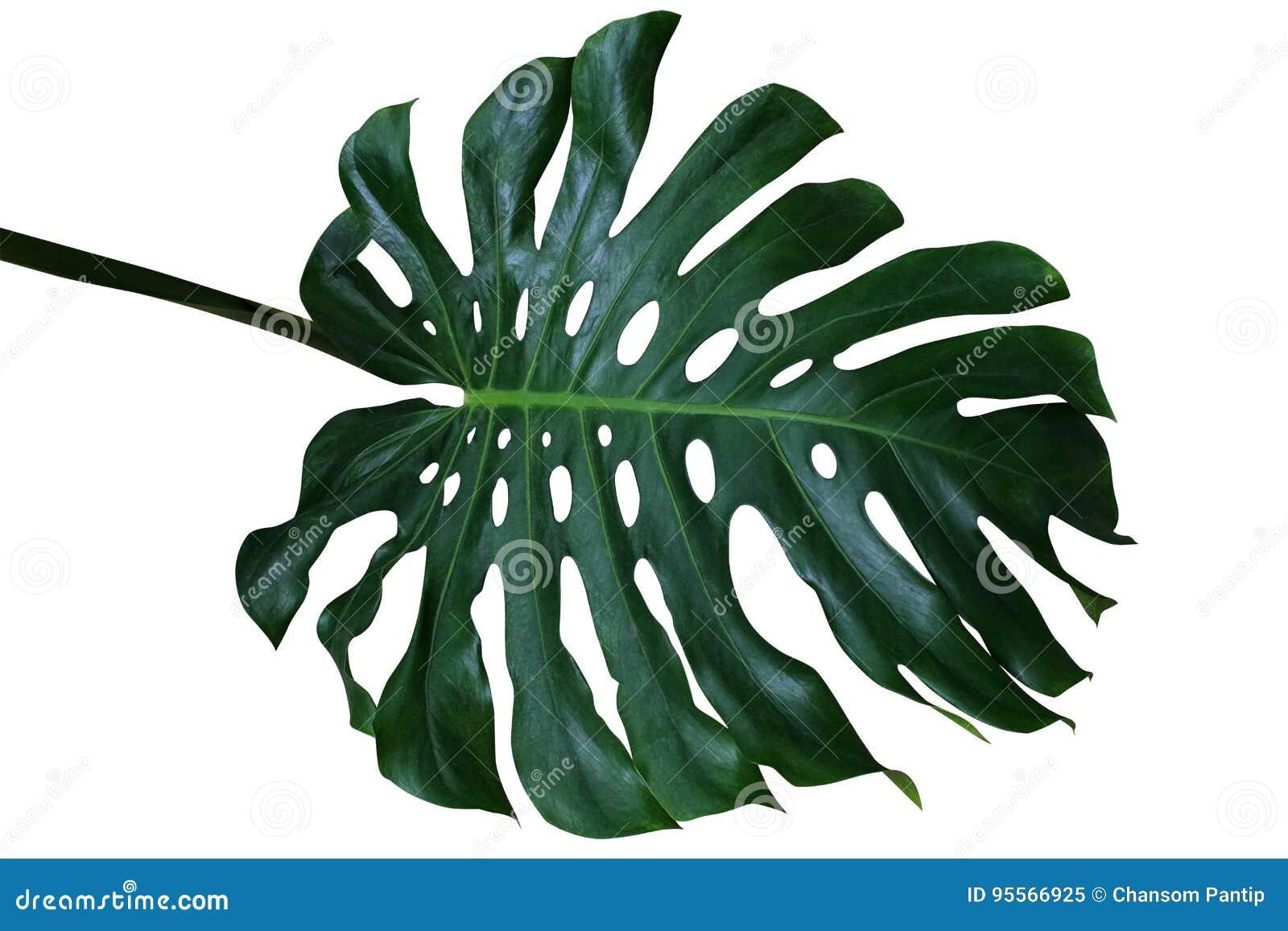Escuro - folha tropical verde do deliciosa de Monstera, a separação-folha p