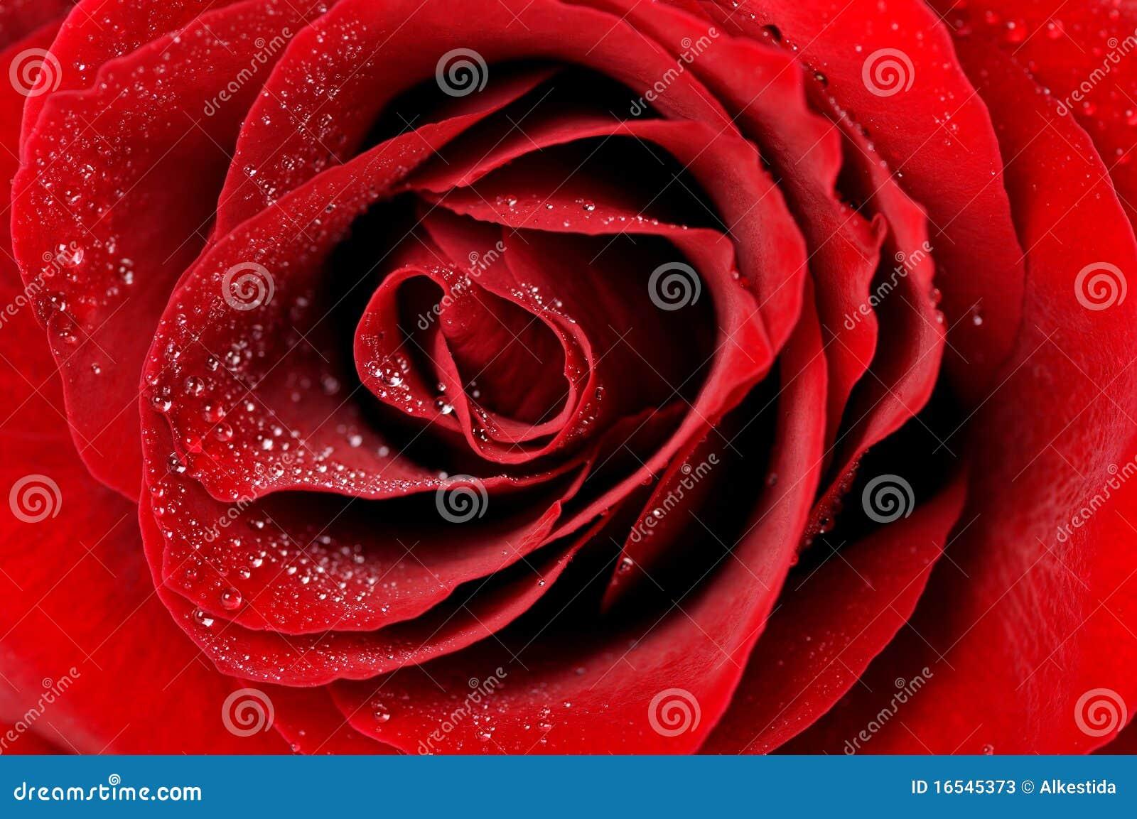 Escuro - o vermelho levantou-se com o close up das gotas de orvalho