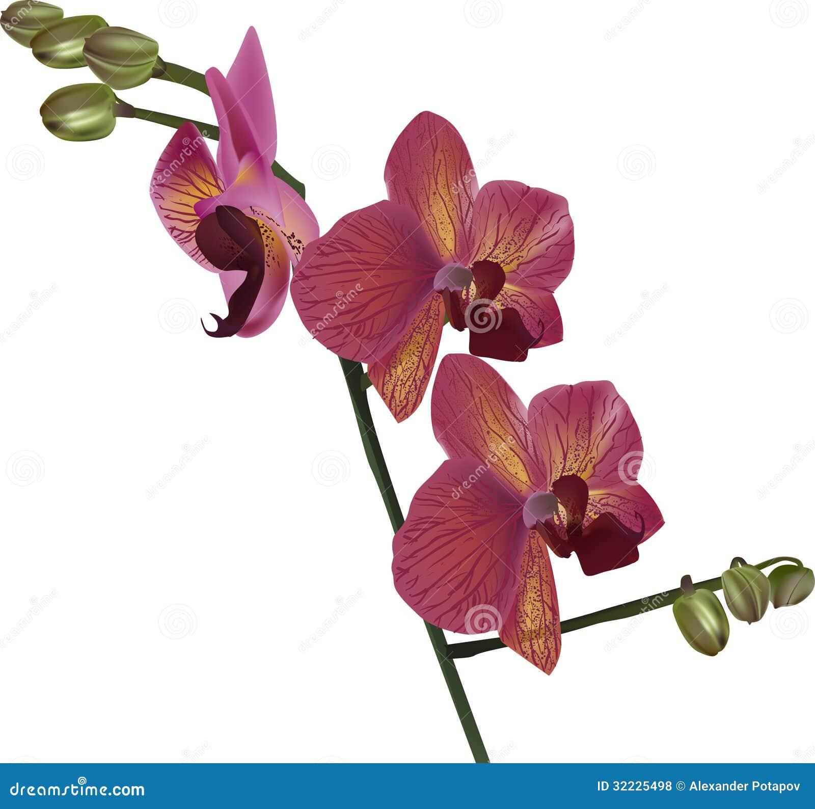 Download Escuro - Ramo Vermelho Da Flor Da Orquídea Isolado No Branco Ilustração do Vetor - Ilustração de haste, flores: 32225498