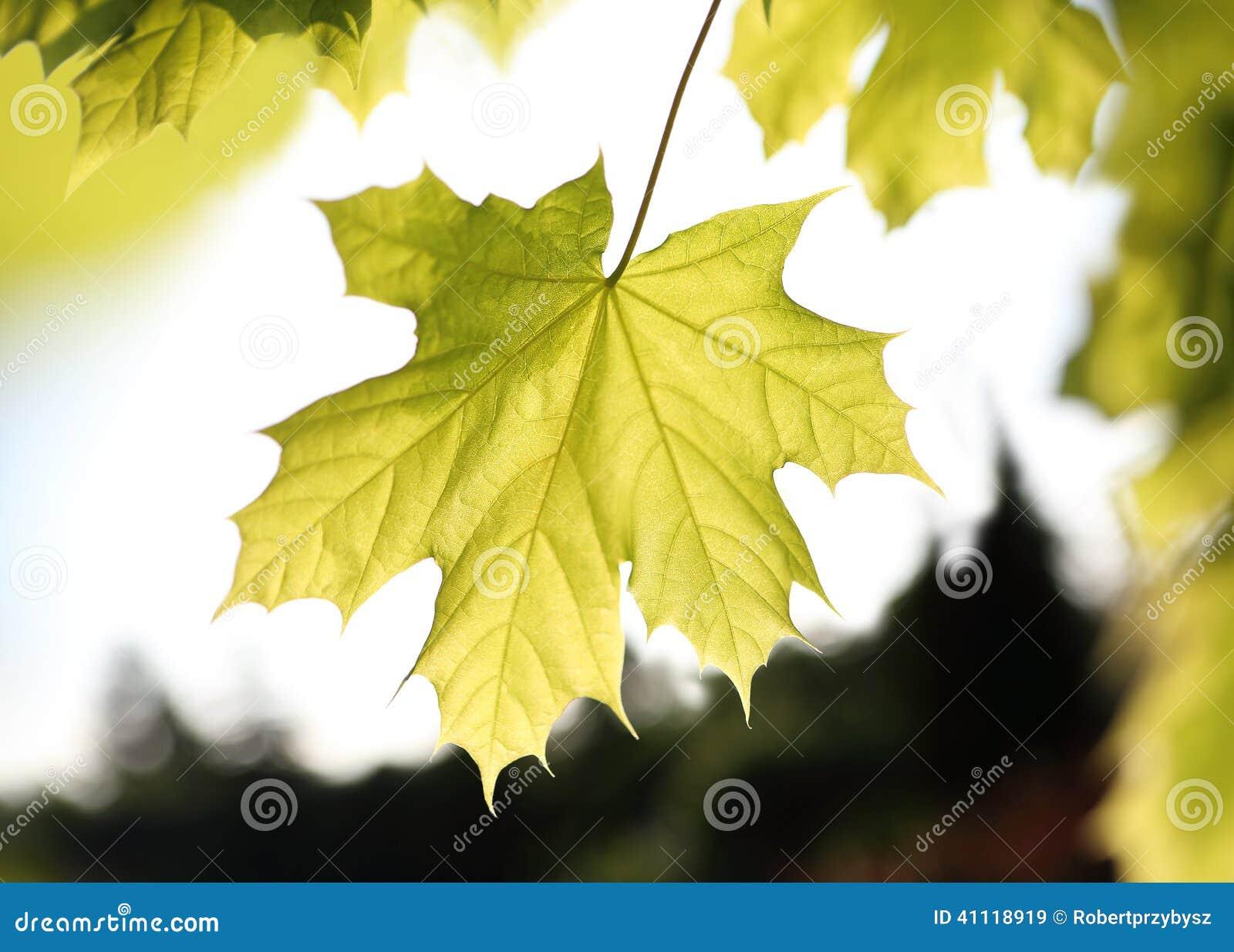 Esdoorn, groen blad