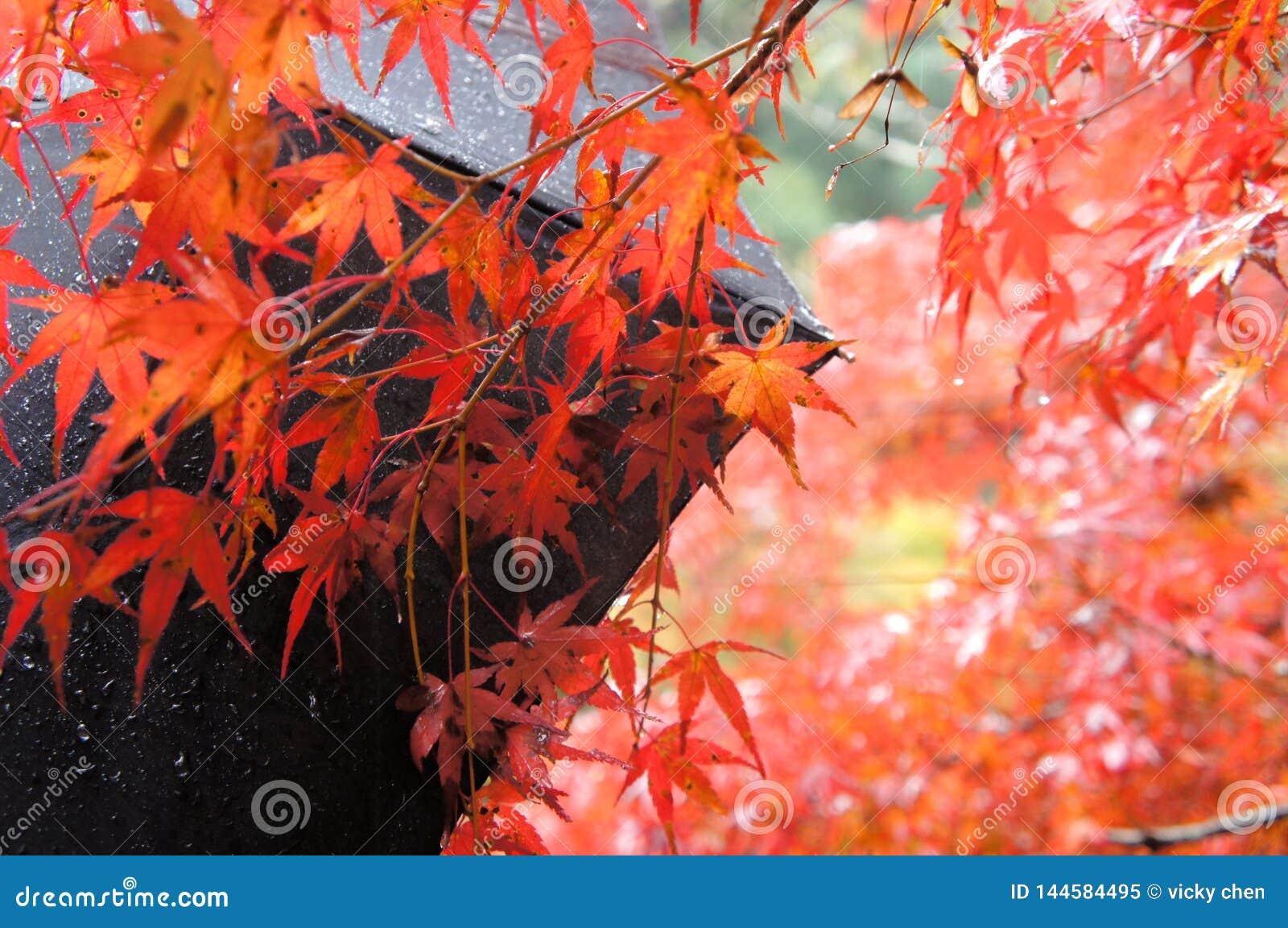 Esdoornblad in Kyoto, Jpan