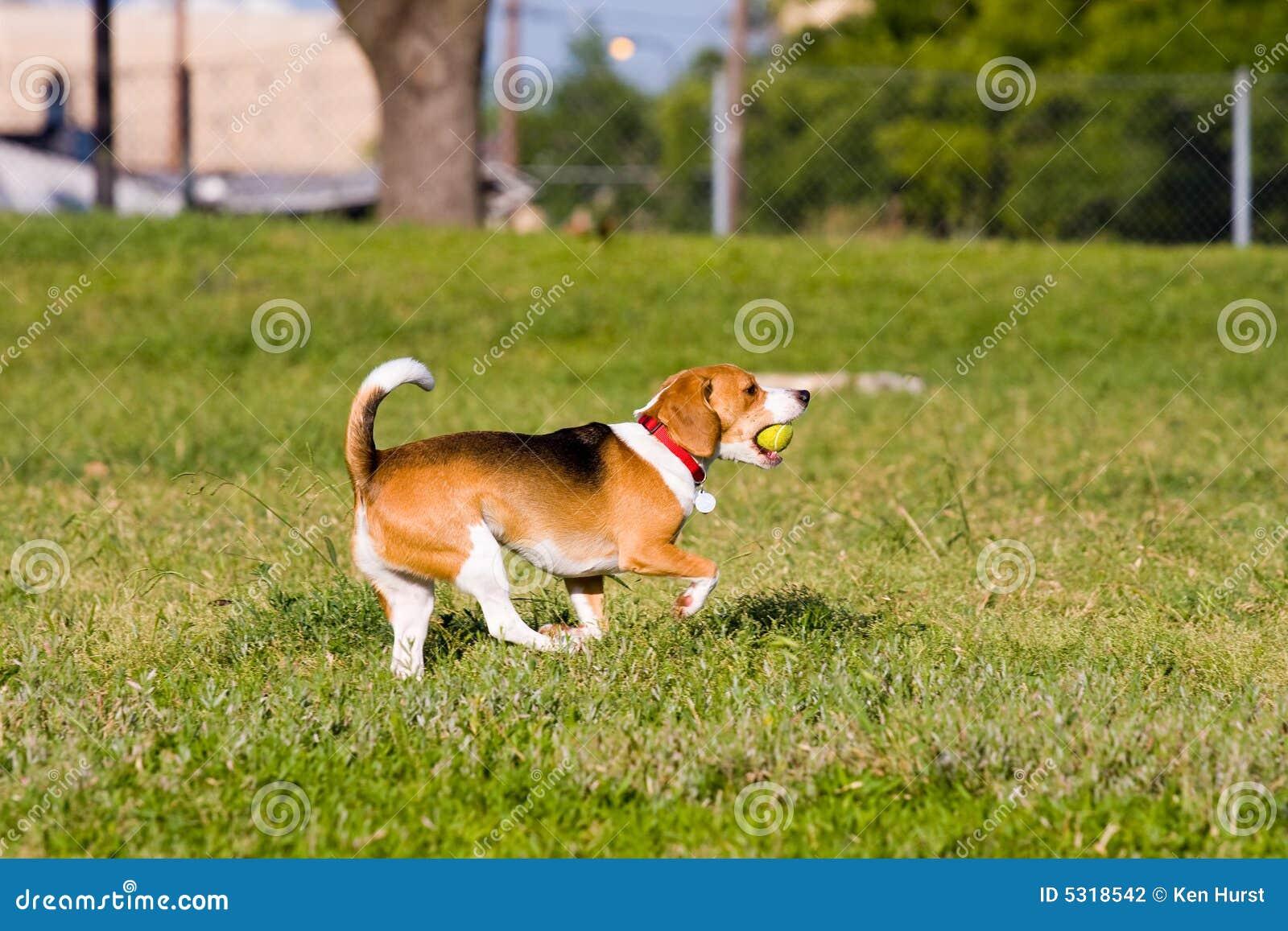 Download Esegua La Cattura Del Cane Da Lepre Fotografia Stock - Immagine di leale, pedigree: 5318542