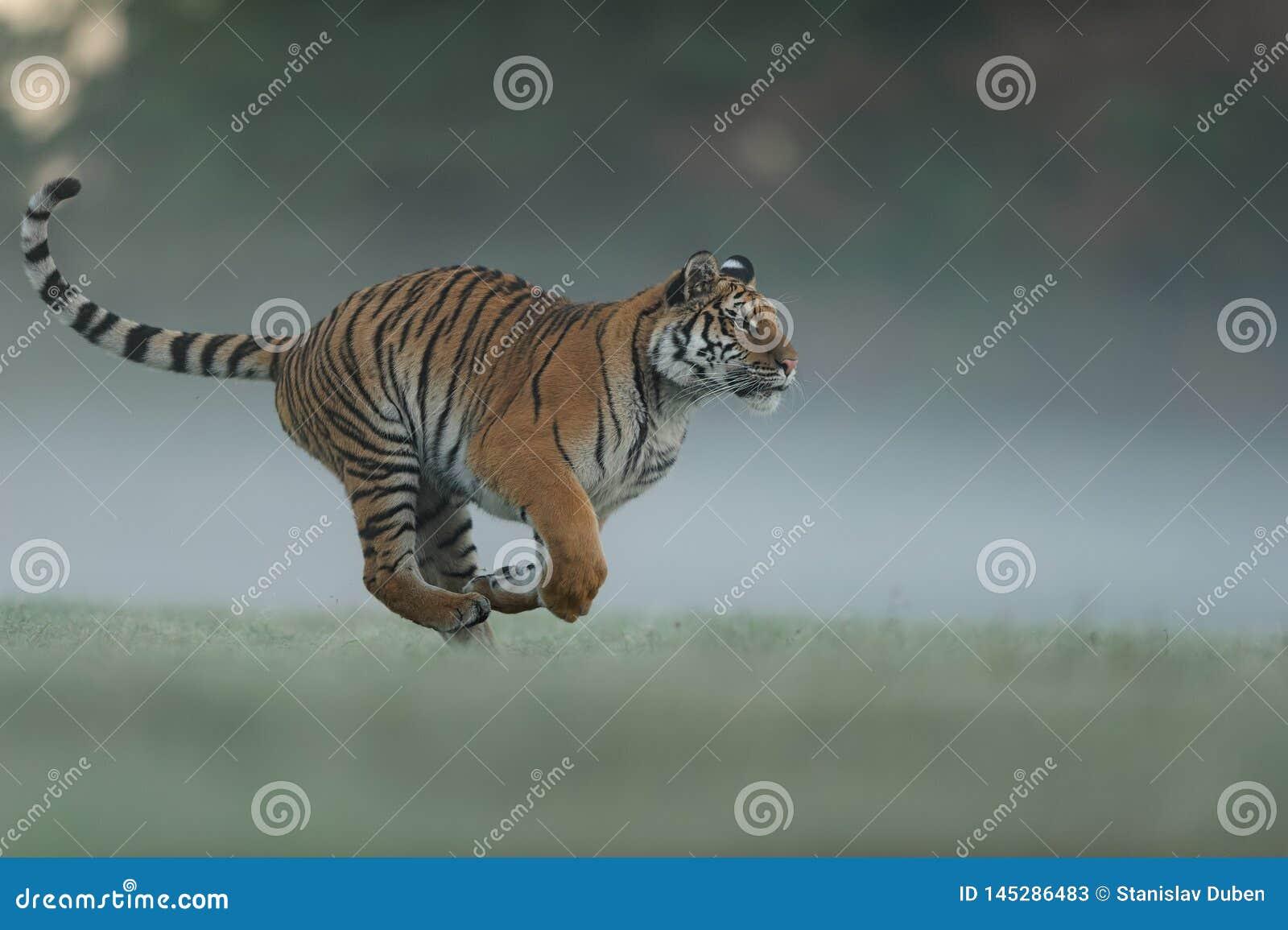 Eseguire tigre sul campo di verde di mattina Vista laterale all animale pericoloso Profil della tigre nel funzionamento aggressiv