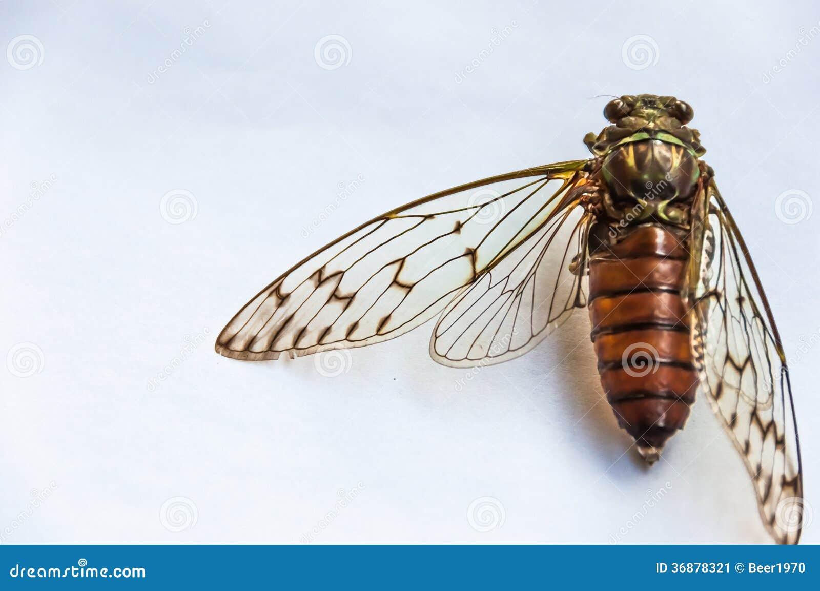Download Esemplare della cicala immagine stock. Immagine di struttura - 36878321