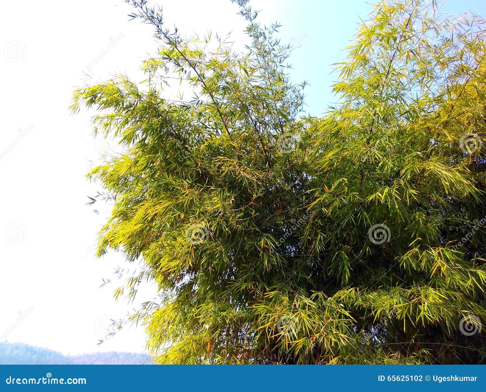 Espèces sauvages de bambou, Inde de satpura