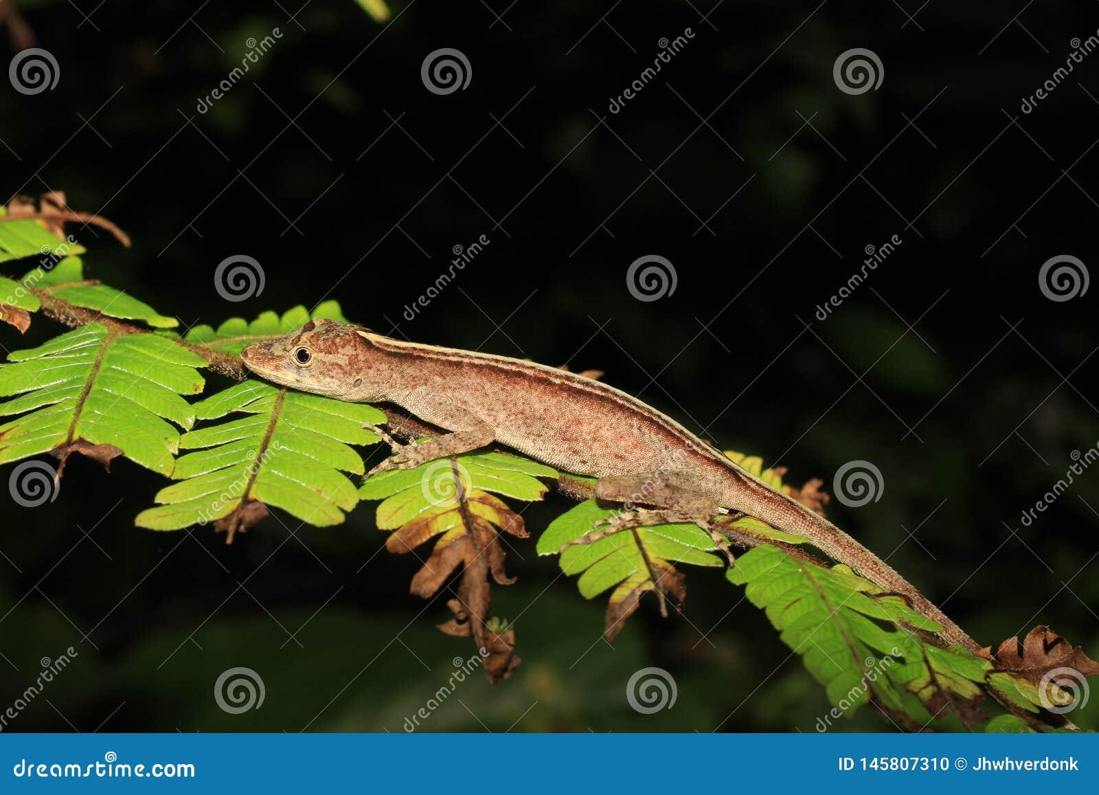 Espécie do Anolis que dorme em uma licença na floresta úmida de Equador, Ámérica do Sul