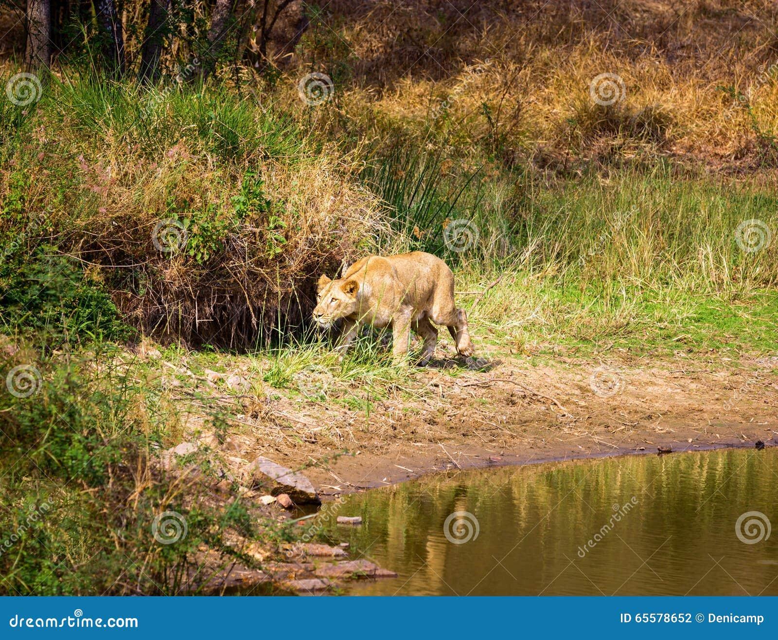 A espécie em vias de extinção de leão asiático